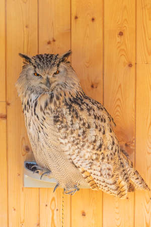 Great West Siberian Eagle Owl sitting on a perch. The whole body and claws are visible.