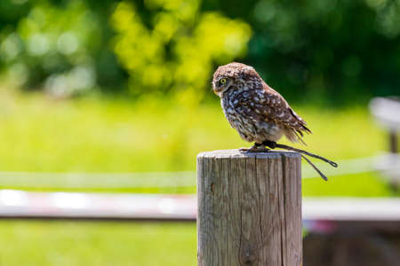 Little owl sitting on a stake. The photo has a blurred green background with nice bokeh.