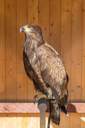 Young eagle sitting on a perch. He is tied up - falconry-led. In the background is a brown wooden wall. 스톡 콘텐츠