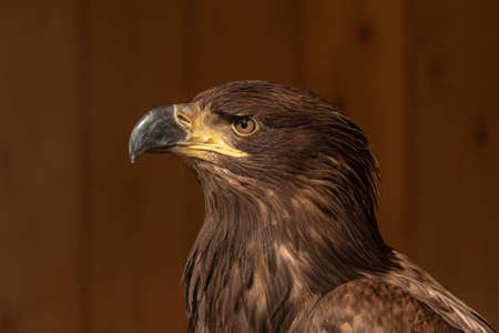 Portrait of a bald eagle - a cub has an unpainted head. The background is brown wood. 스톡 콘텐츠