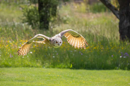 The Great West Siberian Eagle Owl flies low over the ground of a meadow.