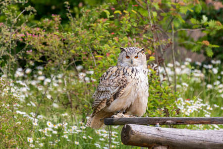 Great West Siberian Eagle Owl sitting on wood. The background is green with nice bokeh. 스톡 콘텐츠