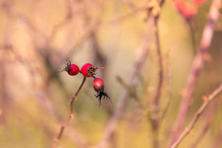 Beautiful rose hip bush and its fruits in autumn sun with beautiful light and bokeh