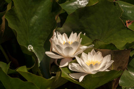 White Water Lily - Nymphaea alba is blooming in green leaves.