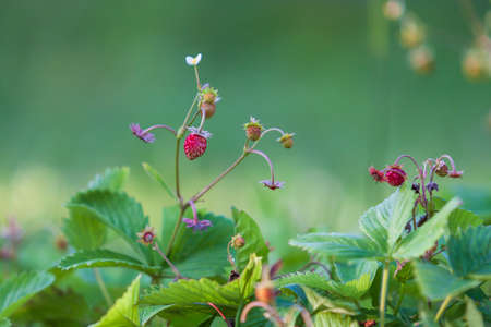 Beautiful strawberry plant with flower and fruit on green background.