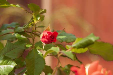 Green shrub with wild red rose flower. 免版税图像