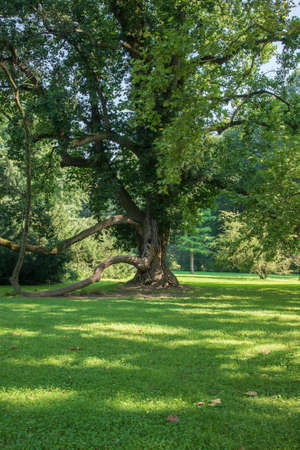 Old tree - Soliter in the garden. The sun shines and forms shadows in the meadow. Photo taken high.
