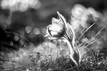 Pasque flowers on spring field. Photo Pulsatilla grandis with nice bokeh.