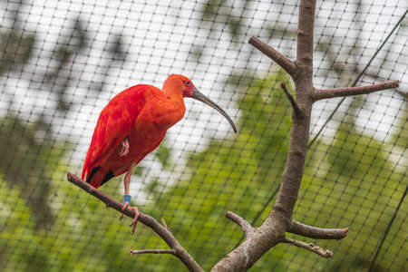 Red Ibis sitting on a tree in the branches of an aviary. The photo has a nice bokeh.