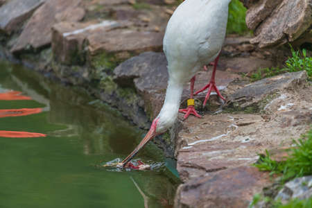 The white ibis stands on the shore and catches fish from the pond with its beak.