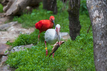 The white ibis runs along the shore and has fish caught in its beak. In the background, outside the depth of field, he is chased by the Red Ibis.