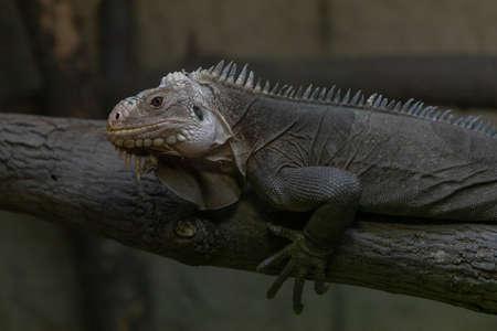 An iguana crawls across a tree. The photo has a dark background. 免版税图像