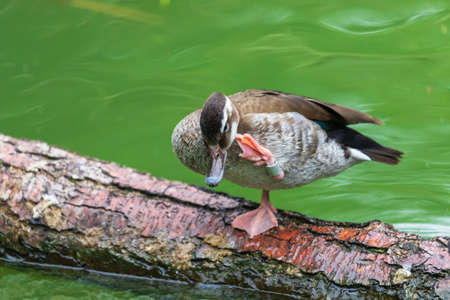 A brown duck stands on a log in the water on one leg and scratches its head with the other leg. 免版税图像