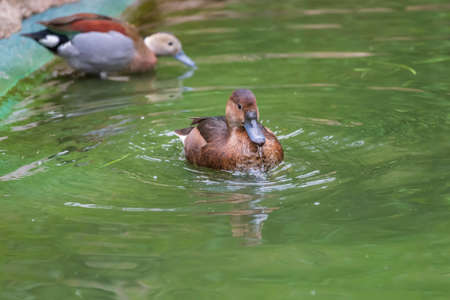 Beautiful little brown duck swims in the water.