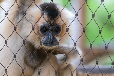 A golden-faced gibbon sits on a branch behind a wire mesh and looks sad.