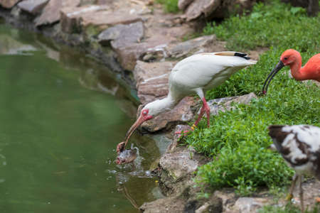 The white ibis stands on the shore and catches fish from the pond with its beak. He has a blank protection over his eye.