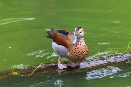 A brown duck stands on a wooden log in the water.