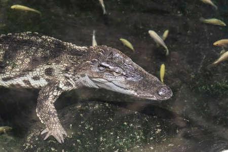 A crocodile swims in the water in an aquarium and ornamental fish swim around it.