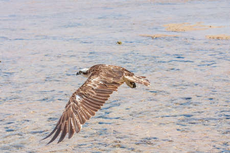 Pandion haliaetus - Osprey flies over the sea. The head and claws are visible. Wild photo. 免版税图像