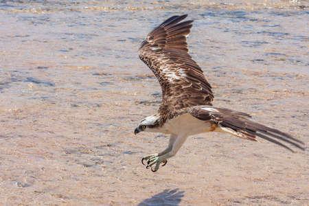 Pandion haliaetus - Osprey - close-up portrait of Osprey landing in the sea. Wild photo