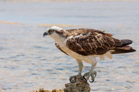 Pandion haliaetus - White-tailed Eagle - close-up portrait. An eagle stands on a stone in the sea. Wild photo 免版税图像