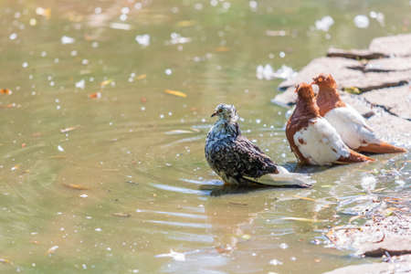 A young pigeon sits by the water and bathes. 免版税图像