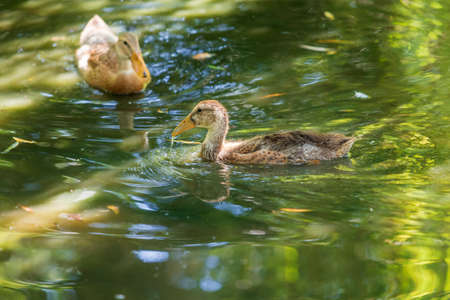 A young goose swims on the water and its image is reflected in the water.