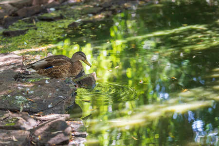 The duck sits on a stone by the water and drinks. There are circles on the water. The photo has a nice bokeh. 免版税图像