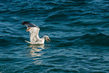 A seagull in the waves of the sea catches fish.
