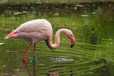 An adult Pink Flamingo stands in the water of a pond. There are drops of water on his neck.
