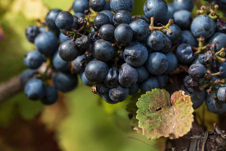 Close-up photo of blue grapes in the vineyard. There is a beetle on a ball of grapes. 版權商用圖片