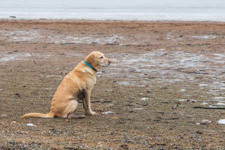 Big brown dog sitting on the beach near the frozen water. The view of the dog is from the side. The dog has a blue collar.