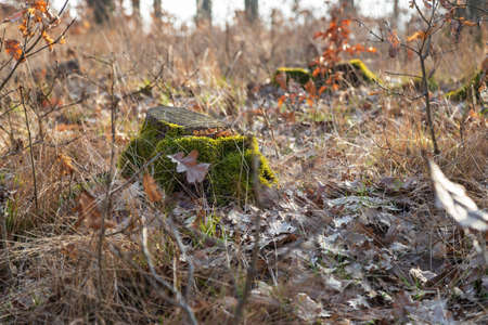 Stump in the forest. There is green moss on the stump. around are fallen leaves.