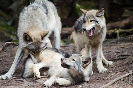 Wolf family playing in wild Stock Photo
