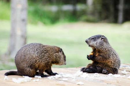 Baby groundhogs munching Stock Photo