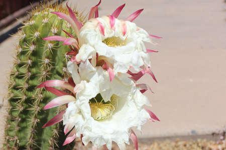 pipe organ: Organ pipe cactus blossom