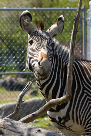 Close up of a zebra laughing
