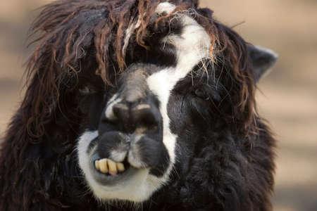 Close up of an alpaca photo