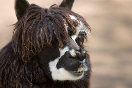 Close up of an alpaca Stock Photo - 4398288