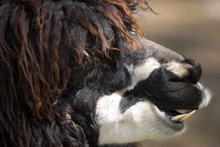 Close up of an alpaca Stock Photo - 4398538