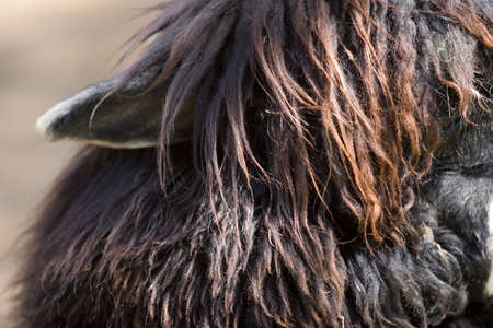 Close up of an alpaca's ear and hair Stock Photo - 4398552