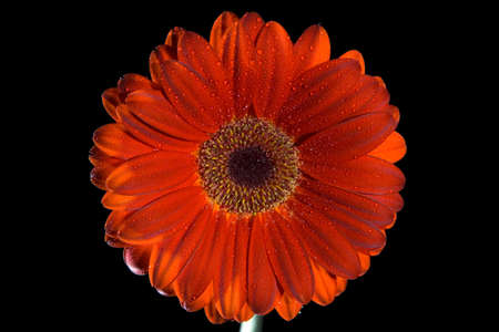 A close up of a gerbera daisy on black background Stock Photo - 5463740