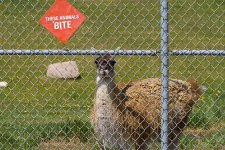 A picture of a llama behind a fence photo