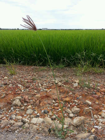 beside: The weeds beside paddy field