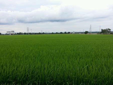 paddy field: Landscape of paddy field Stock Photo