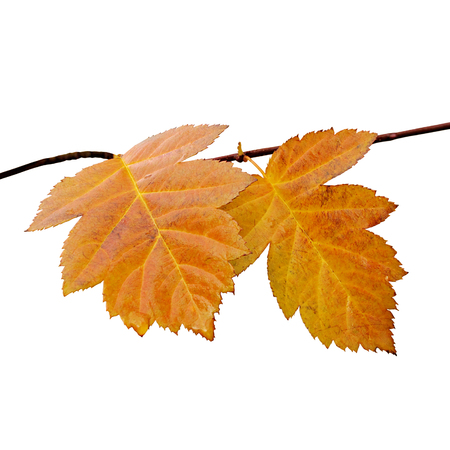Yellowed leaves on a tree branch