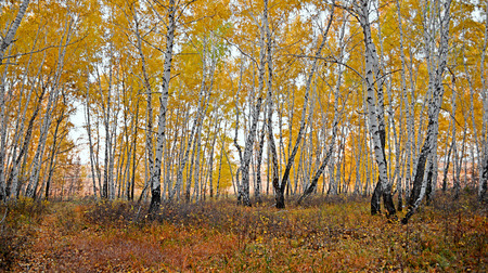 Landscape photo of autumn forest. Yellowed trees.