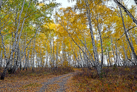 Autumn in the forest. Landscape photo of autumn forest. Yellowed trees.