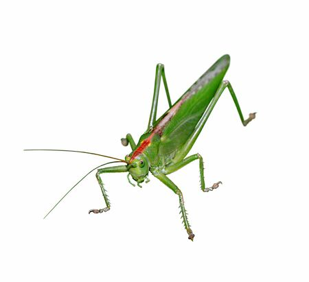 Green locust isolated on white background close up