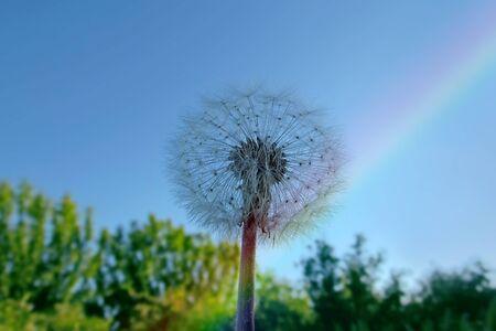 White fluffy dandelion against the blue sky Banco de Imagens